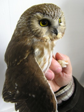 Northern Saw-whet Owl at BBBO